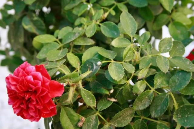 Ácaros en rosales