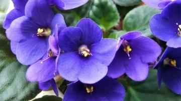 Violeta africana floración