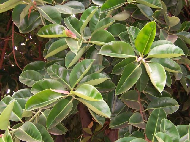 Árbol del caucho, Ficus de Panamá