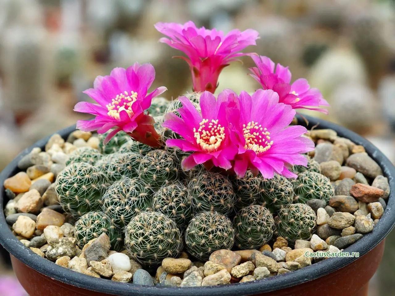 Cactus crasas suculentas