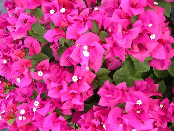 plantas-trepadoras-colgantes-2