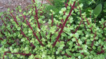 Árbol de la Abundancia o Portulacaria Afra, consejos para su cuidado