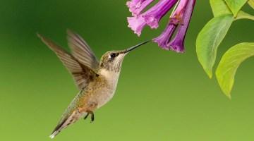Plantas que atraen colibries, mariposas y abejas