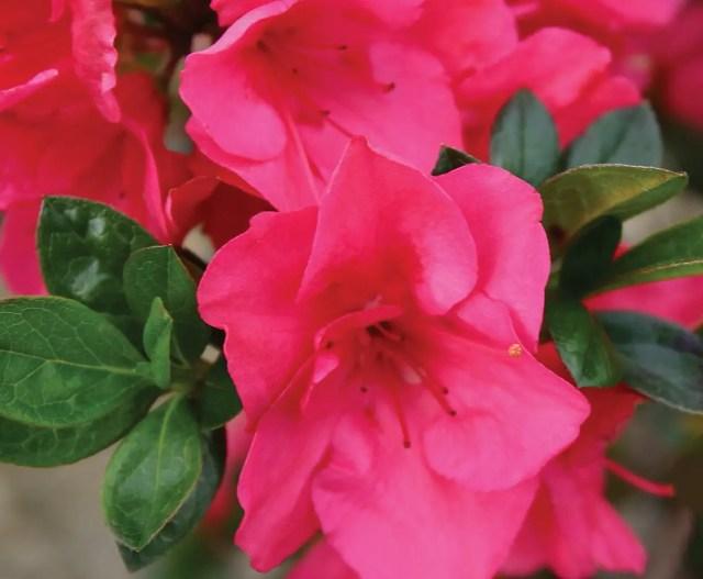 Azalea Bloom-A-Thon