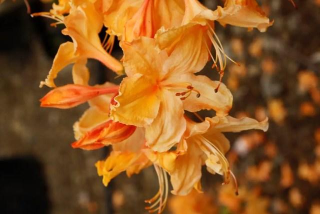 Azalea Golden Lights