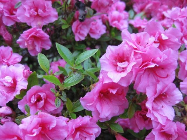 Azalea rosebud