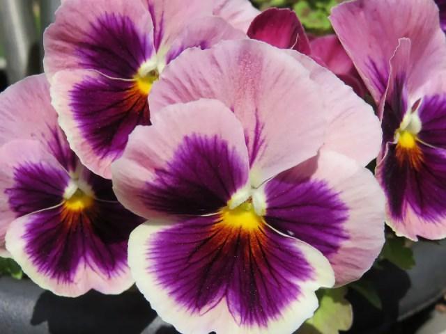 Pensamiento planta con flor