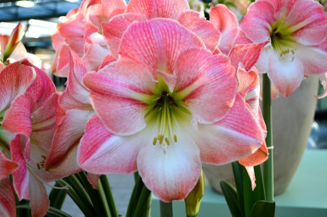 Amaryllis apple flower