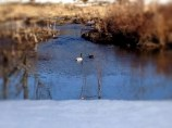Leisurely Ducks