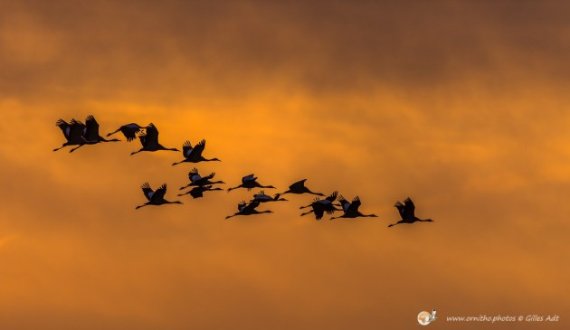 la Grue cendrée - © Gilles Adt