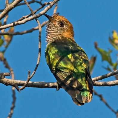 Female Asian Emerald Cuckoo from Bangladesh bird
