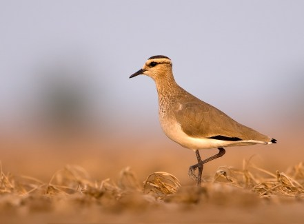 Birds Sociable Plover By Cks3976 - Photographed by mePreviously published: www.walkinthewild.net