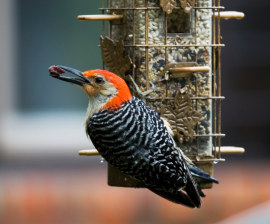 Red-bellied woodpecker, rain-soaked and hungry at feeder