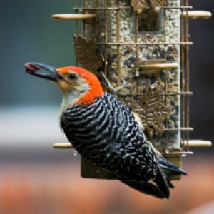 Red-bellied woodpecker, rain-soaked and hungry.  Shallow depth of field.