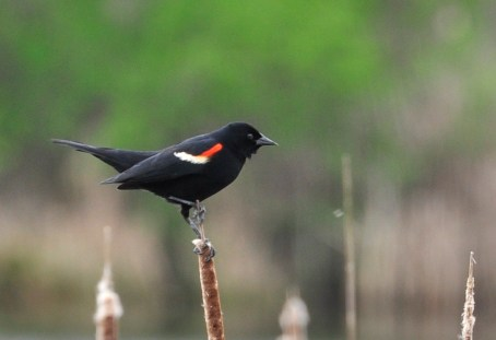 Red_Wing_Blackbird birds