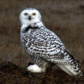Snowy_Owl_Barrow_Alaska birds