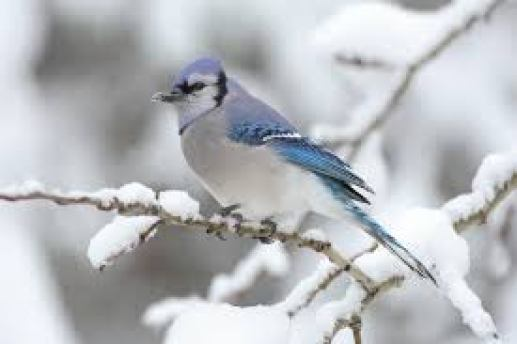 Blue Jay birds