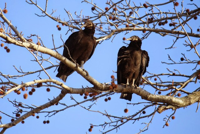 Black Vultures
