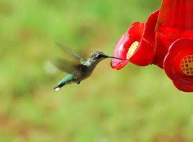 hummingbiird