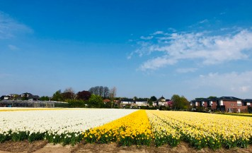 Yellowish Tulip Fields