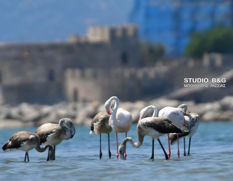 Πενήντα πανέμορφα φλαμίνγκο στο Ναύπλιο ΕΙΚΟΝΕΣ & ΒΙΝΤΕΟ | Ελλάδα | Ορθοδοξία | orthodoxia.online | φλαμίνγκο | Ναύπλιο | Ελλάδα | Ορθοδοξία | orthodoxia.online