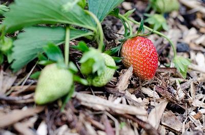 Plant in de kijker : de aardbei (Fragaria)