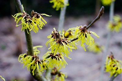 Plant in de kijker:  toverhazelaar – Hamamelis