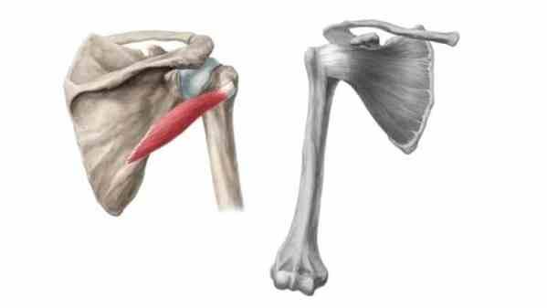 Músculo redondo menor do manguito rotador