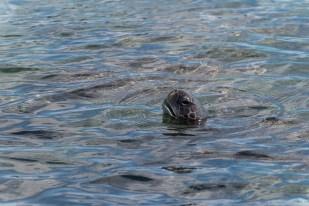 Wasserschildkröte - Isla Fernandina
