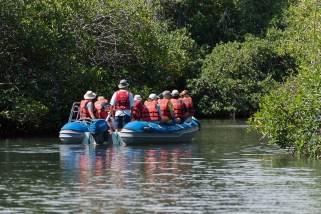 Mangroven - Isla Isabela