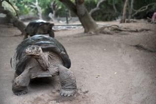 Schildkröten - Puerto Villamil