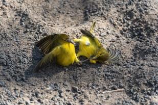 Kung Fu Vögel - Isla Floreana