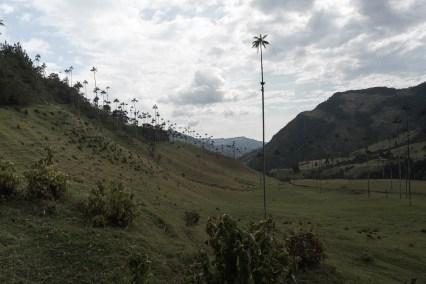 Wachspalmen - Valle de Cocora