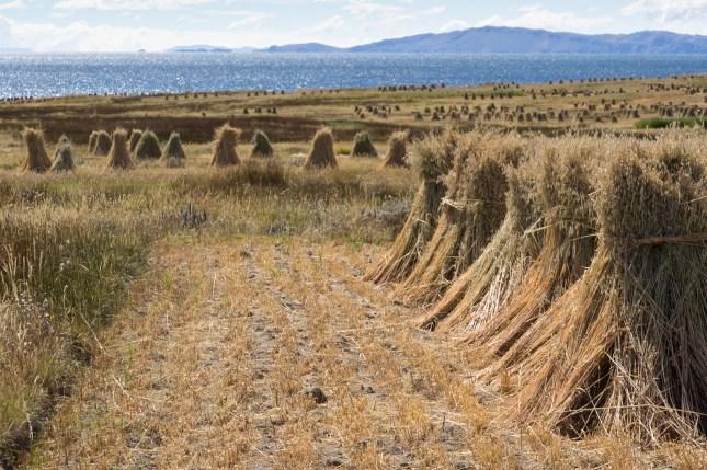 Felder am Titicacasee