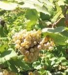 Vitivinicoltura: piano di valorizzazione del vino umbro al giro di boa