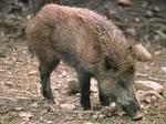 Coldiretti Terni: danni da fauna selvatica, situazione insostenibile per aziende