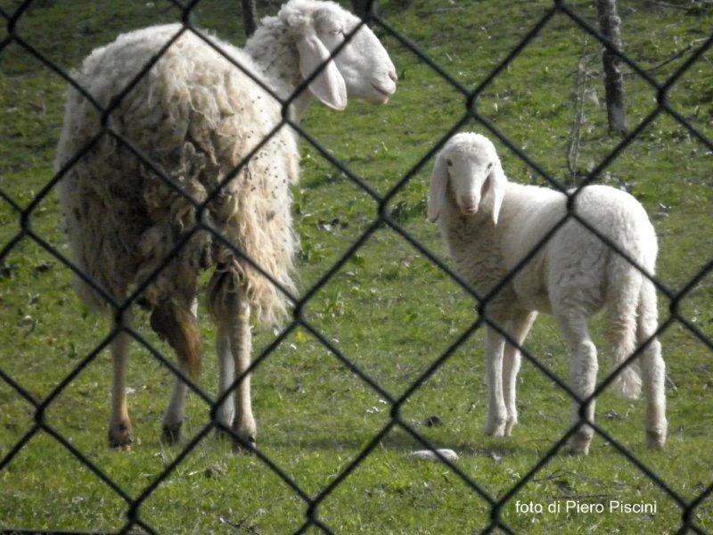 Pasqua. SOS del giovane agnello