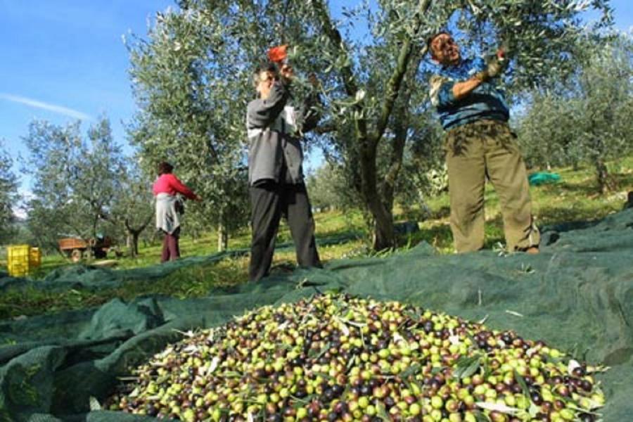 """Un bando per la raccolta delle olive sul terreno comunale nei pressi del """"Belvedere"""""""