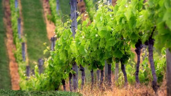 """Campagna Ocm Vino 2017/2018: """"Incrementate risorse per investimenti imprese vitivinicole e promozione"""""""