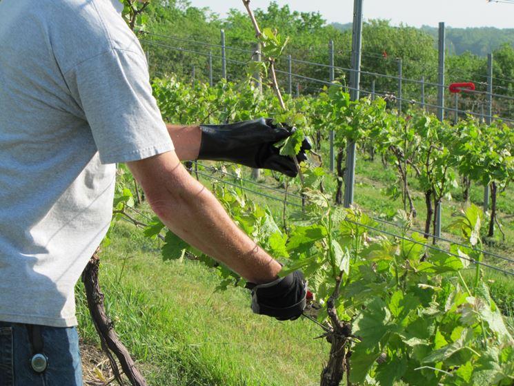 """Wine Research Team: una """"potatura intelligente"""" per un prodotto di qualità e piante sane"""