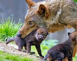 """""""Giocando ed imparando..in bocca al lupo"""".Mmostra e laboratori per conoscere il re di Monte Rufeno"""
