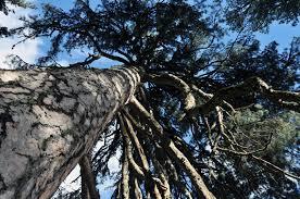"""Pinus nigra aut Urbevetus et Unesco. """"Chi e cosa scegliere tra il Duomo ed il Peglia per Unesco"""""""