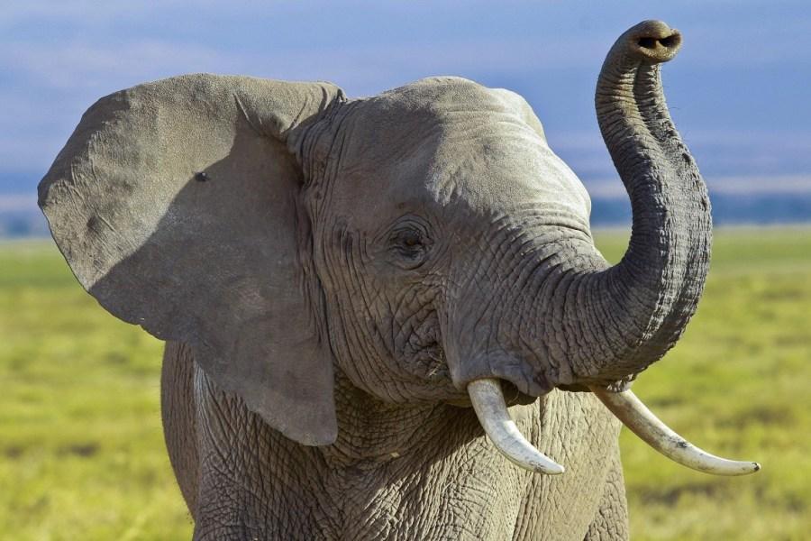 Rischio estinzione elefanti africani e negative conseguenze sulle foreste, ricerca scientifica Unitus pubblicata su Nature