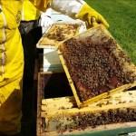 Tutelare le api e gli insetti impollinatori, al via il Corso di Apicoltura Biologica