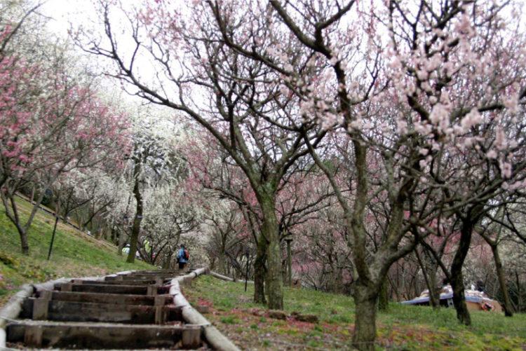 大阪府立花の文化園の梅林