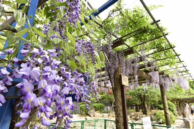 下福島公園的野田藤