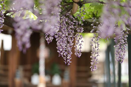 春日神社前的野田藤