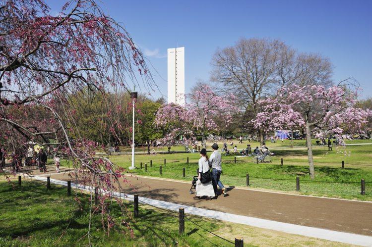 大仙公园的樱花