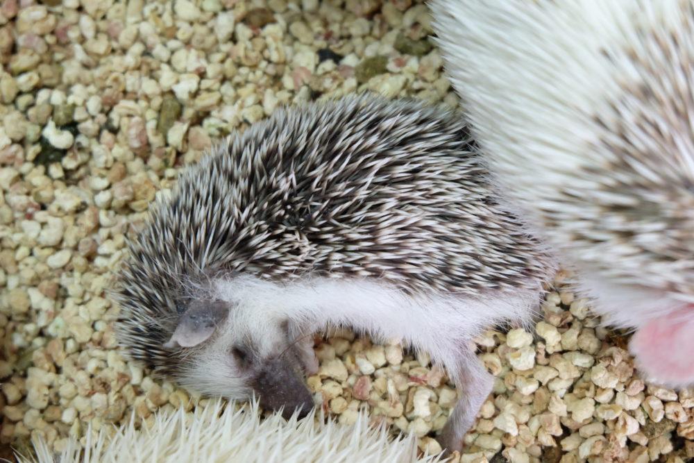 낮잠 중인 고슴도치