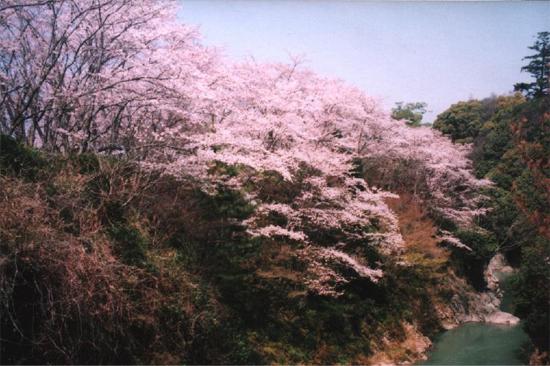 ROJI溪谷和櫻花的照片